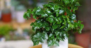 Cây Hạnh Phúc hợp mệnh gì? Tìm hiểu ý nghĩa của cây Hạnh Phúc