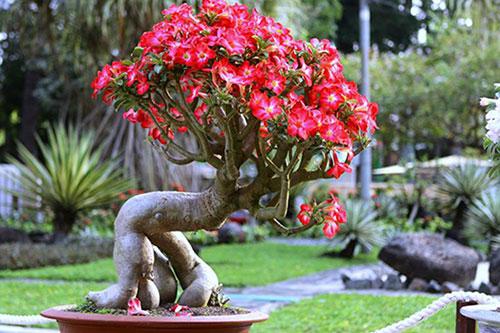 Cây Hoa Sứ cũng là loại cây đem lại may mắn cho tuổi tân mùi 1991