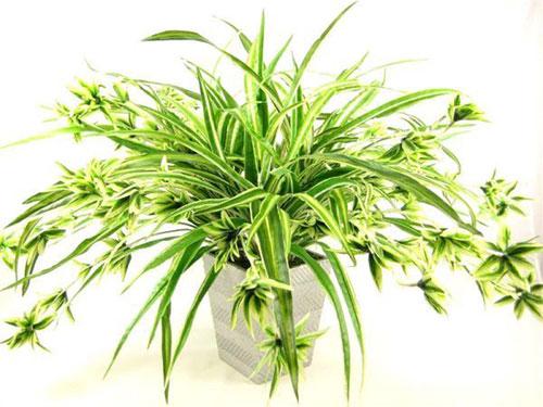 Cây Dây Nhện cây phong thủy tuổi Nhâm Tuất nên trồng