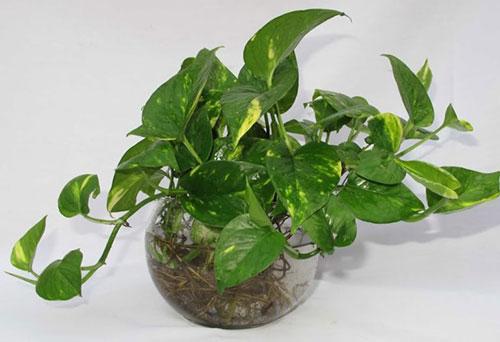 Vạn Niên Thanh cũng là loại cây mà tuổi nhâm Tuất 1982 nên trồng