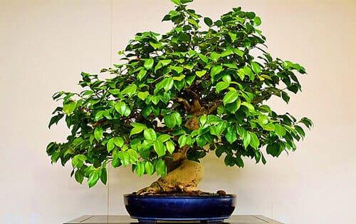 Cây trà xanh loại cây phong thủy rất hợp với tuổi bính tý 1996