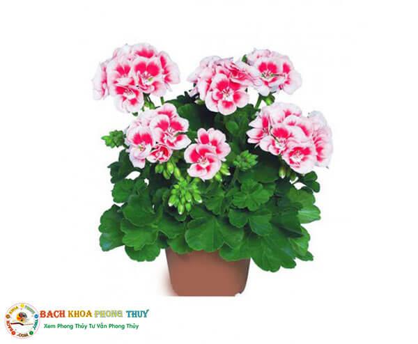 Chậu hoa để bàn làm việc theo phong thủy 3 - Hoa Phong Lữ