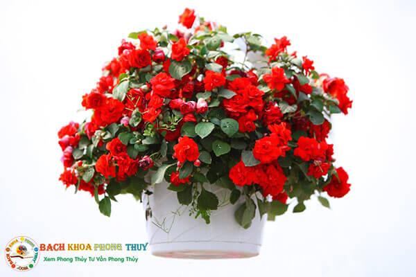 Hoa Thu Hải Đường cũng là loại hoa để bàn làm việc hợp phong thủy