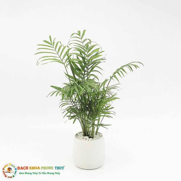 Tuổi Mậu Thìn 1988 nên trồng cây Cau tiểu Trâm