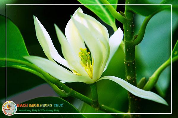Cây Hoa Ngọc Lan trắng cây phong thủy xua tan điềm xấu, mang lại may mắn cho tuổi 1983