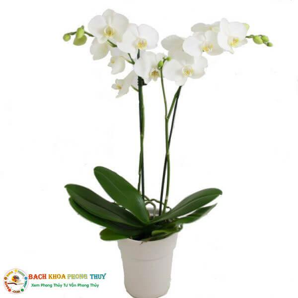 Tuổi Ất Mão 1987 nên trồng cây lan trắng