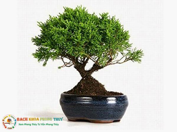 Cây Tùng Bồng Lai - Cây phong thủy tuổi Mão thêm may mắn