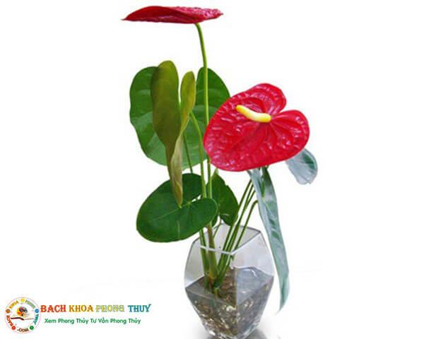 Cây hồng môn đẹp cây phong thủy mang may mắn cho người tuổi Mão