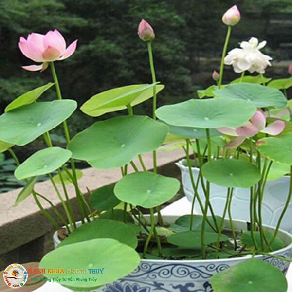 Hoa Sen cũng là loại cây Tuổi Đinh Mão nên trồng trong nhà