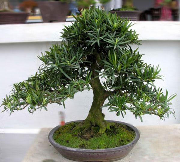 Thêm một số gợi ý cho câu hỏi tuổi Đinh Sửu hợp cây gì