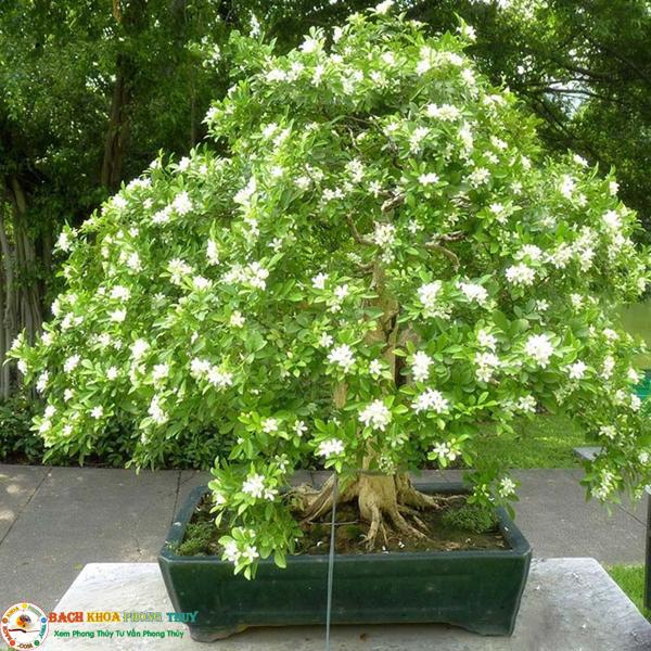 Cây Nguyệt quế bonsai thích hợp trồng trước nhà