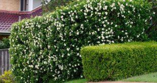 Có nên trồng cây Nguyệt quế trước nhà không?