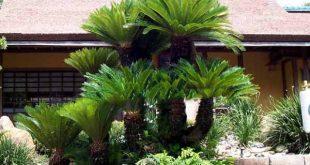 Có nên trồng cây Vạn tuế trước nhà không?