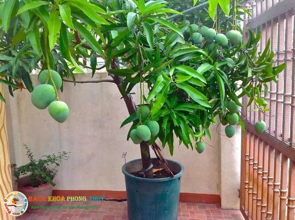 Có nên trồng cây Xoài trước nhà không?