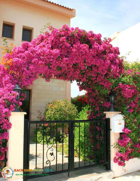 Lưu ý khi trồng hoa giấy ở cổng chính