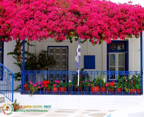 Lưu ý khi trồng hoa giấy ở trước sân nhà