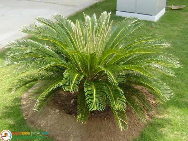 Những lưu ý khi trồng cây Vạn tuế trước nhà