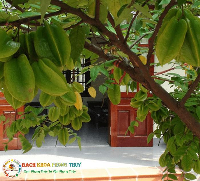 Có nên trồng cây Khế trước cửa nhà và lưu ý khi trồng cây Khế