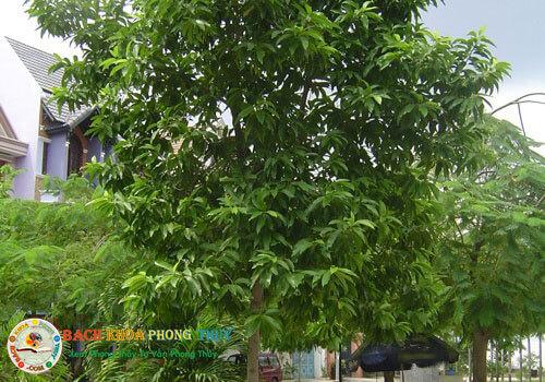 Lưu ý khi trồng cây Ngọc lan trước cửa nhà