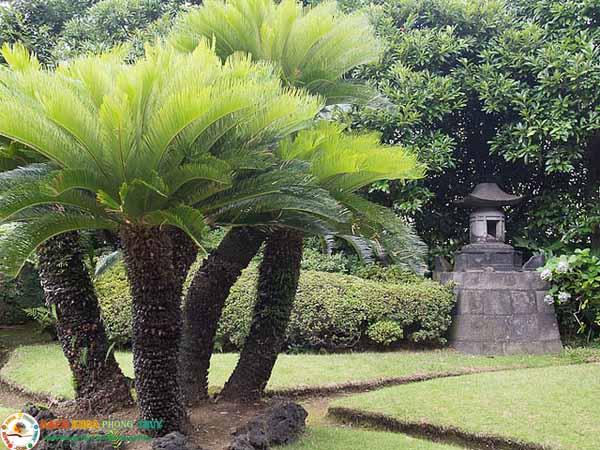 Xét về mặt phòng thủy có nên trồng cây Vạn tuế trước nhà?
