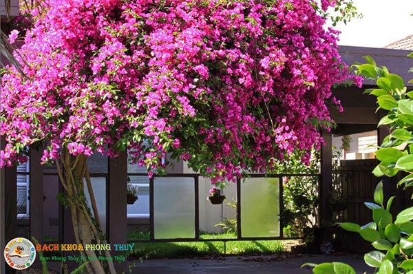 Trồng cây hoa Giấy trước nhà như thế nào cho chuẩn phong thủy