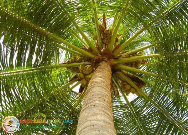 Trồng cây Dừa trước nhà cần lưu ý gì?