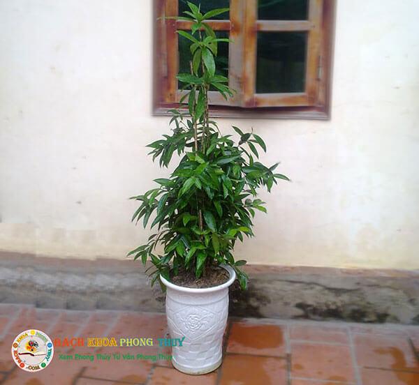 Lưu ý khi trồng cây trúc Nhật ở trước nhà