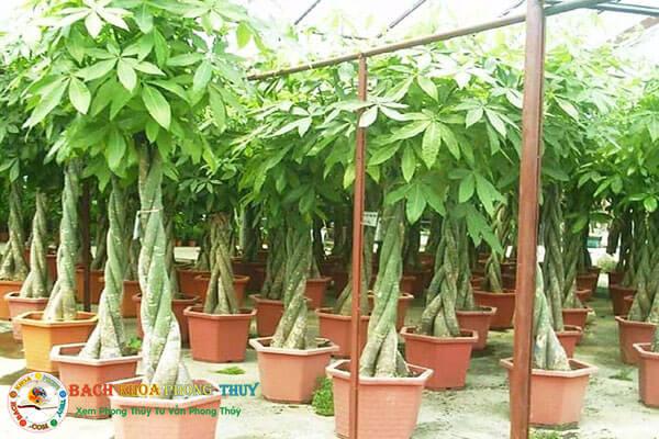 Nên trồng trước nhà Cây hoa Kim ngân