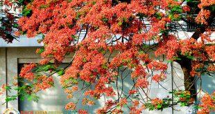 Trồng cây Phượng trước nhà có tốt không?
