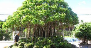 Có nên trồng cây sanh trước nhà không, trồng thì cần lưu ý gì?