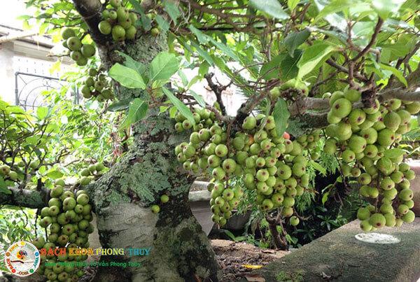 Có nên trồng cây Sung trước nhà nếu xét về khía cạnh thẩm mỹ?