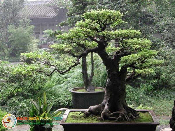 Trồng cây sanh trước nhà và những lưu ý quan trọng bạn cần biết