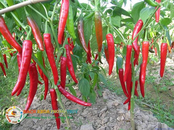 Những lưu ý khi trồng ớt trước và trong nhà