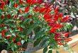 Có nên trồng cây ớt trước nhà, trong nhà không?
