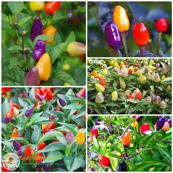 Có nên trồng cây ớt trong nhà?