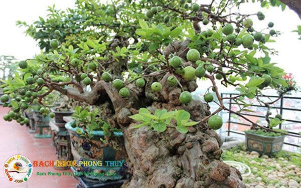Những lưu ý để trồng cây ổi theo phong thủy