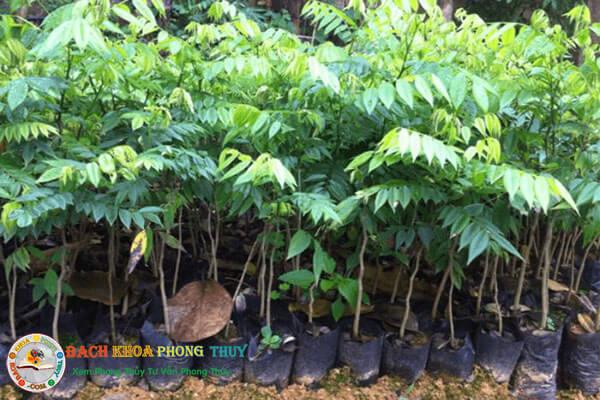 Có nên trồng cây sưa trước nhà không