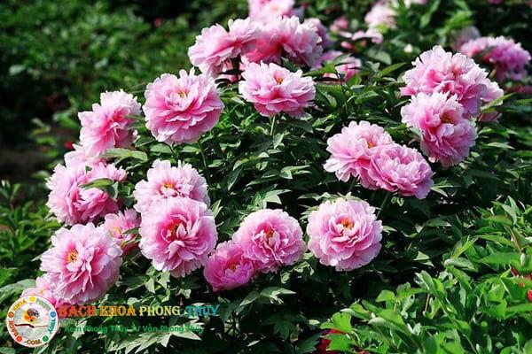 Nếu phân loại hoa mẫu đơn theo màu sắc
