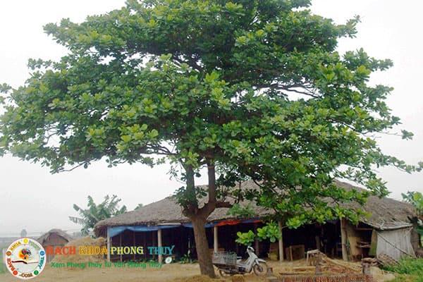 Trồng cây Bàng trước nhà có tốt không, vì sao không nên trồng?