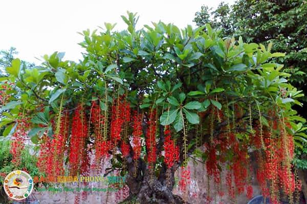 Có nên trồng cây Lộc Vừng trước nhà, trồng trước nhà có tốt không?