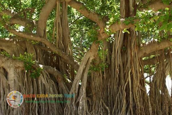 Khía cạnh phong thủy tâm linhnên trồng cây đa trước nhà có sao không?