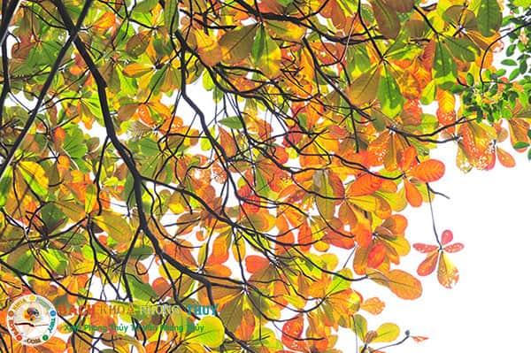 Một số lý do không nên trồng cây Bàng trước nhà