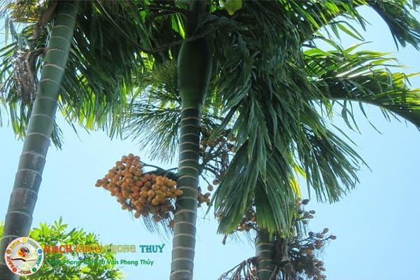 Trồng cây Cau trước nhà có tốt không về phong thủy hay mọi mặt đời sống