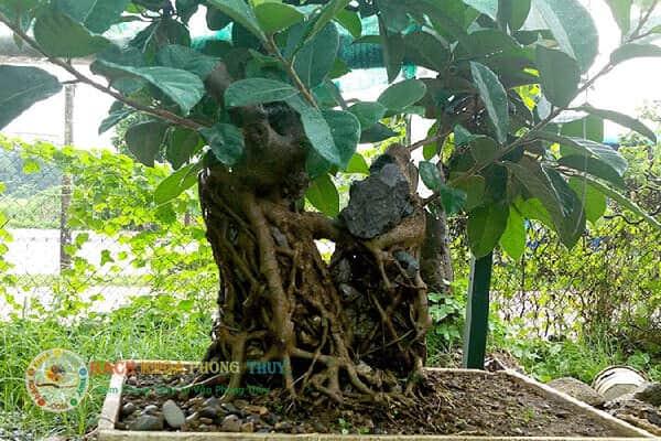 Cần kiêng kỵ trồng cây Đa trước nhà