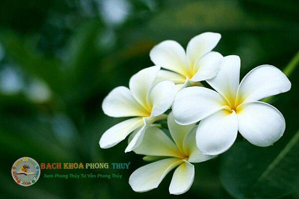 Có nên trồng cây hoa Đại trước nhà không, vì sao?