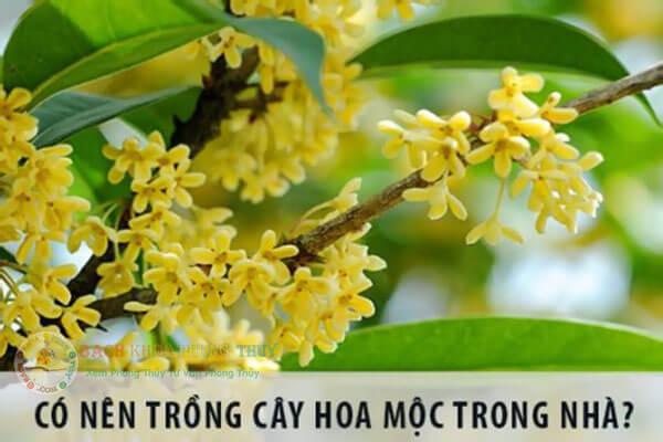 Có nên trồng cây Mộc Hương trước nhà không?