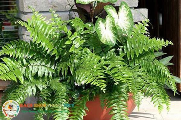 Dương xỉ cũng là một trong những loại cây không nên trồng trước nhà