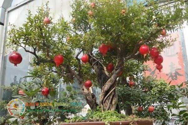 Về phong thủy trồng cây Lựu trước nhà có tốt không?