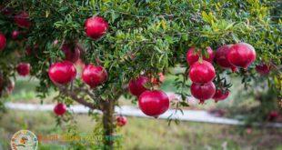 Trồng cây Lựu trước nhà có tốt không, có nên trồng không?