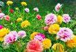 Có nên trồng hoa mười giờ trước nhà không?